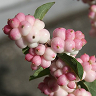 Symphoricarpos Magical Joy