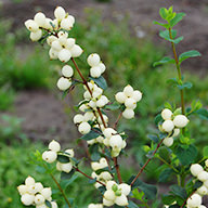 Symphoricarpos Magical Lemon Lime