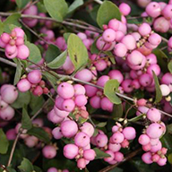 Symphoricarpos Magical Treasure