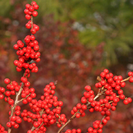 Ilex Verticillata Magical Berry